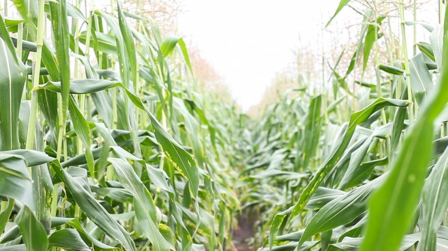 Sweet Corn Field - Fire Roasted Sweet Corn with Vegetable Medley - www.littlerustedladle.com #sweetcorn #cornonthecob #farmtotable