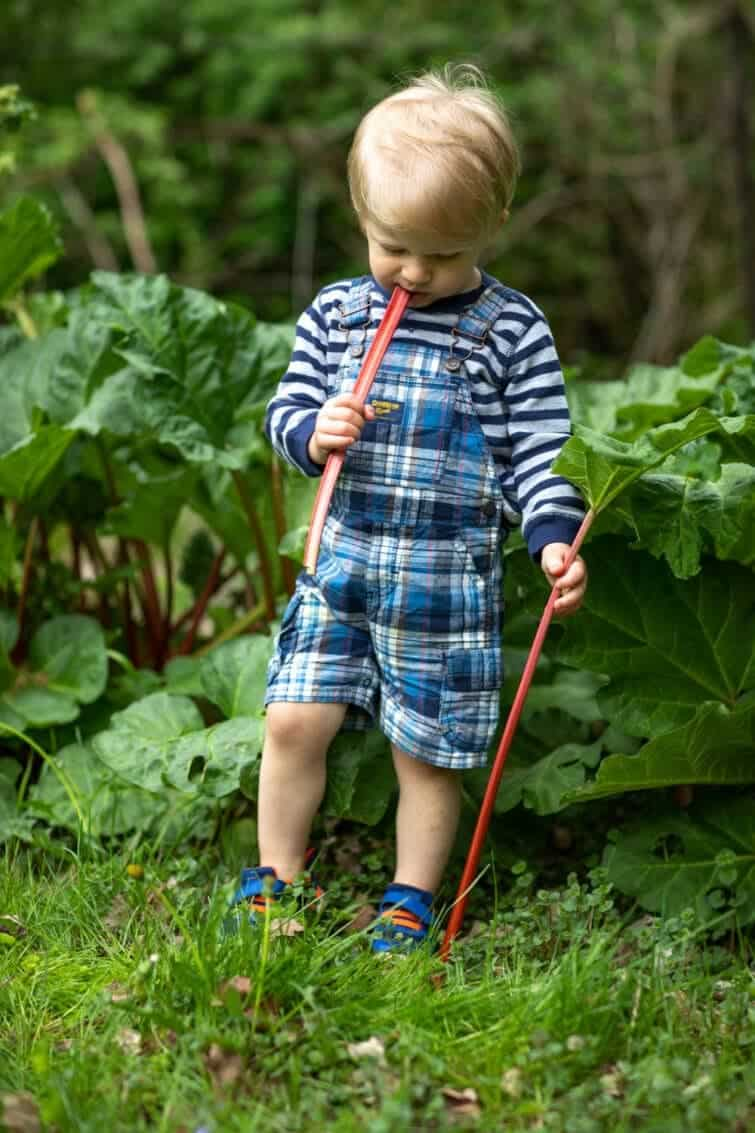 Little boy in stripes eating a raw piece of rhubarb by the plant