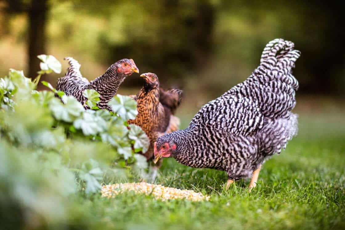 Three chickens eating seed from the grass