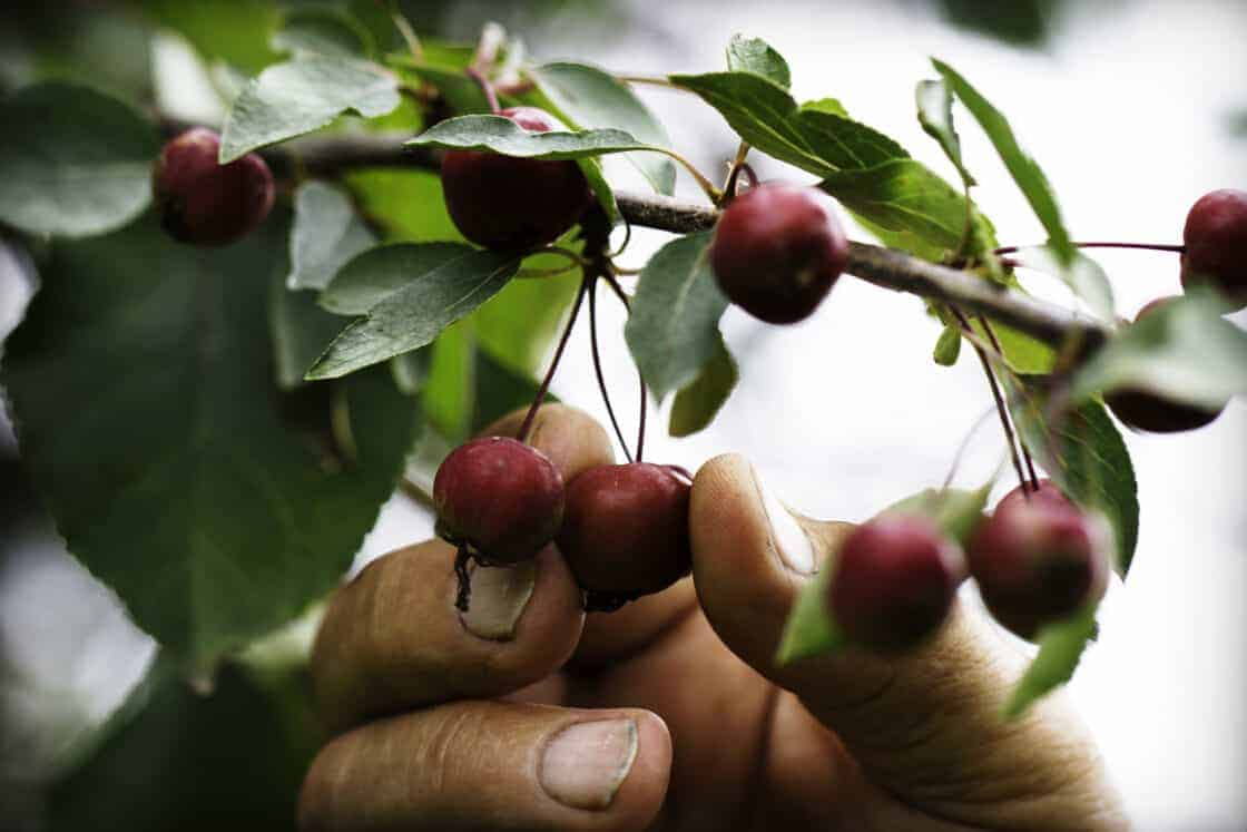 Farmer hand reaching up and touching cherries on the tree