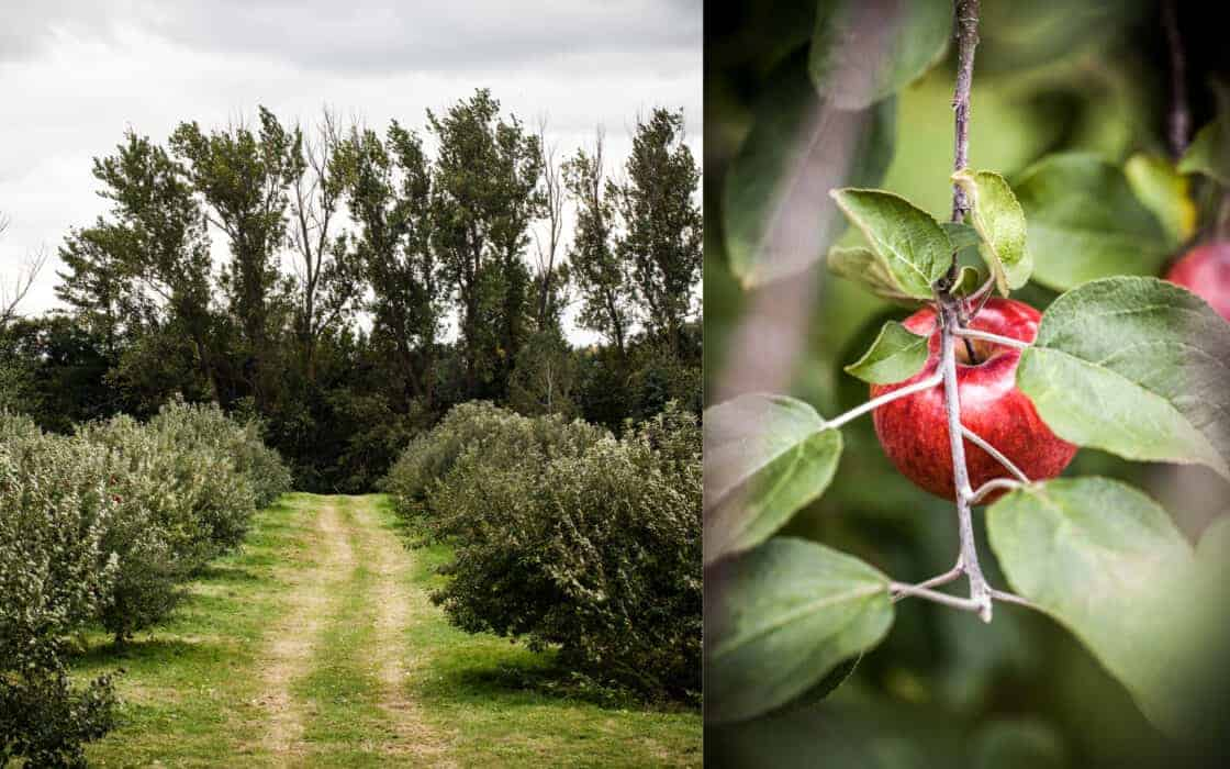 A trail going through an apple orchard and a close up of a red apple on a tree