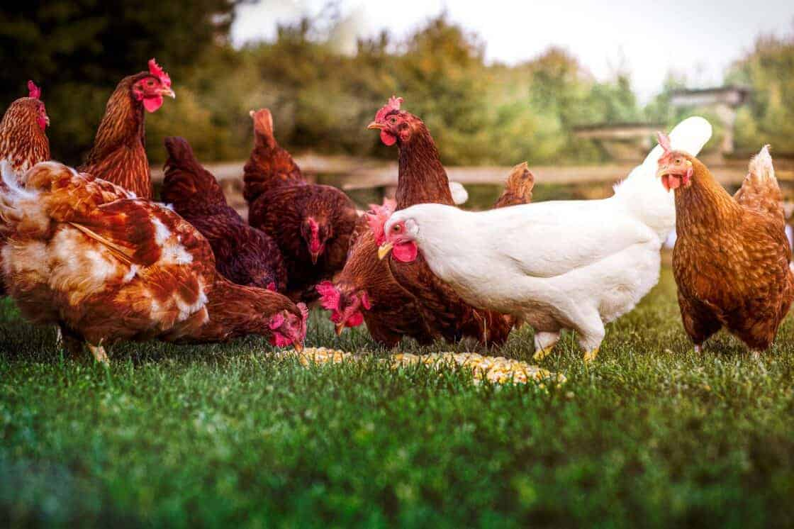 A group of red hens and a white hen eating seed in the grass at sunset
