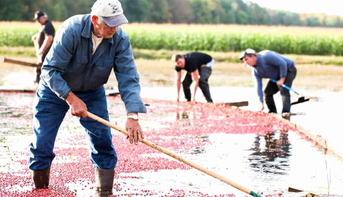 Men on the cranberry bog with rakes