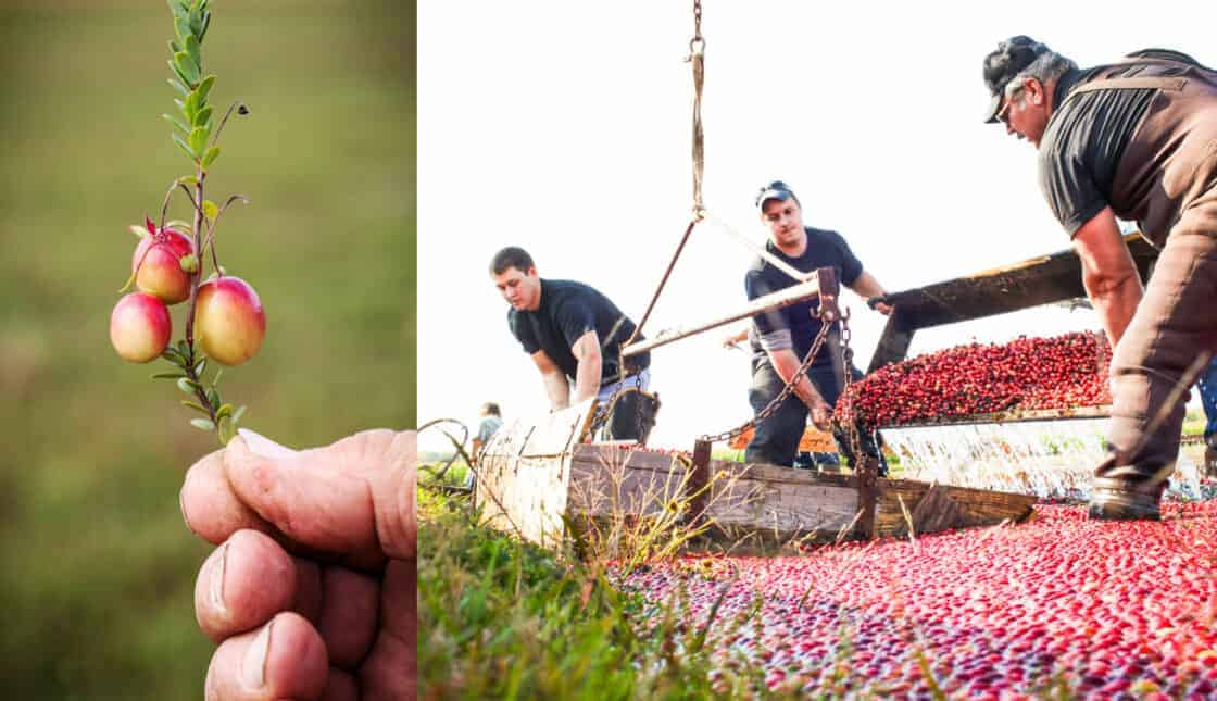 split photo of cranberries on the vine and farmers bringing in the cranberry harvest
