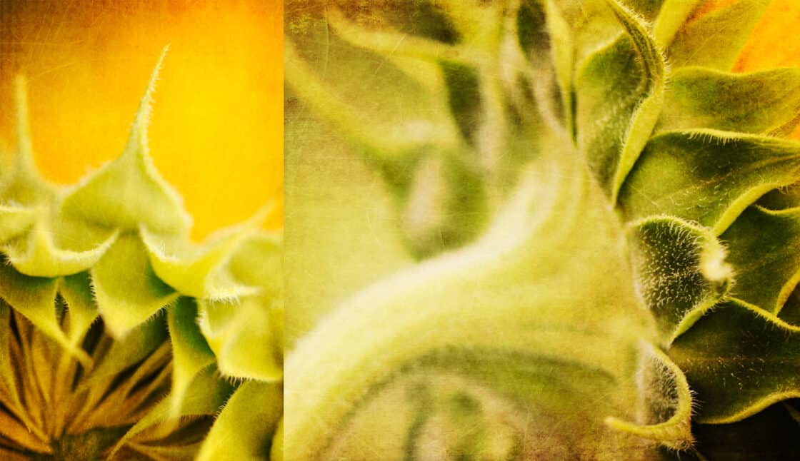 Extreme close up of the fuzzy stems and undersides of sunflowers.