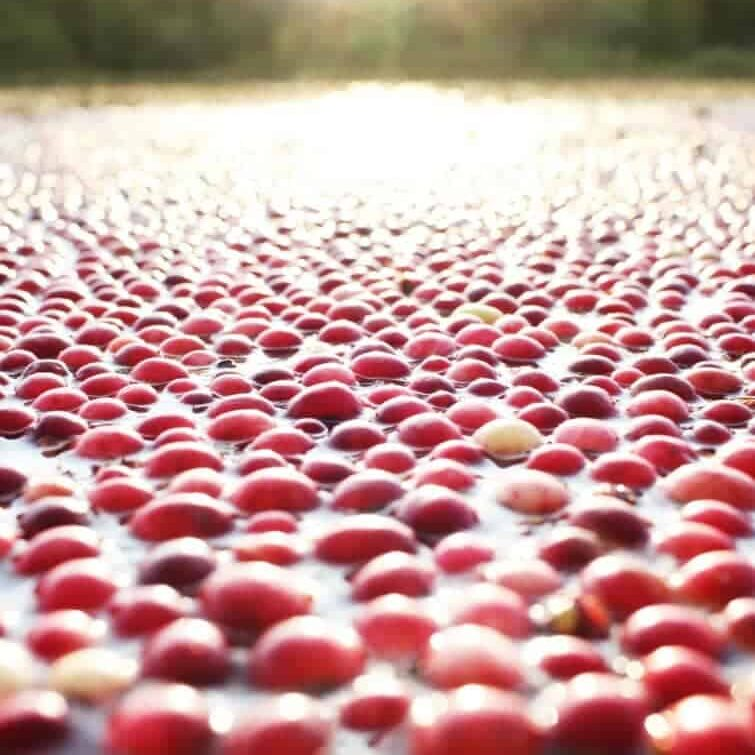 An artistic picture of a cranberry bog with the sun setting over the tree horizon line